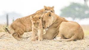 AT 159 - Lion-5009304