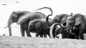 AT 162 - Elephant-2-4