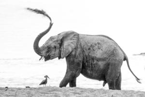 AT 163 - Elephant-162