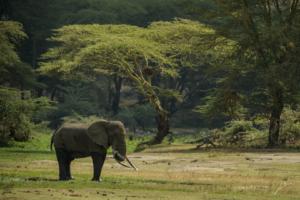 RETIRED BULL ELEPHANT