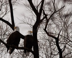 Glen Walls-Eagle Pair Lower Klamath NWR
