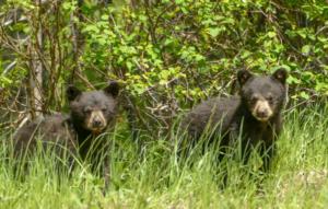 828 Black Bear Cubs