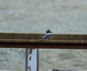 RCE_1329-  Belted Kingfisher -July 22, 2015