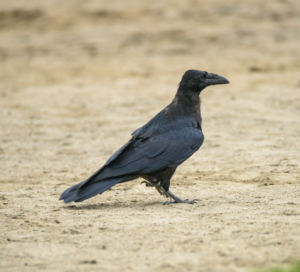 RCE_9919-  Common Raven -July 20, 2015