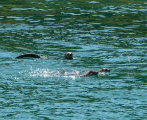 RCE_9996-  Carcross, Northern River Otter -July 25, 2015